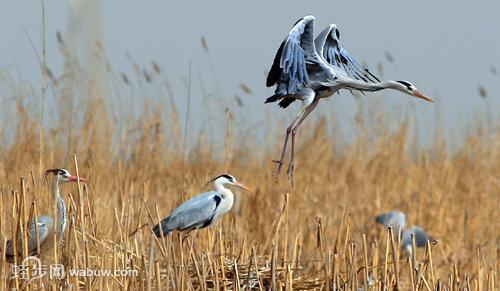 沙湖风景区的鸟